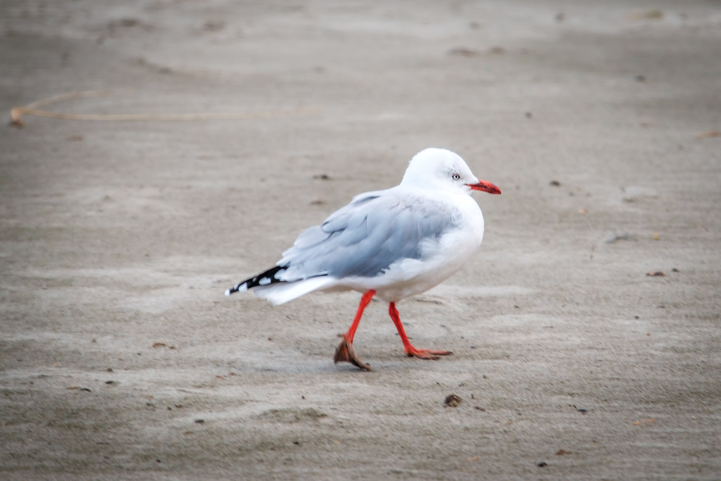walking Seagull