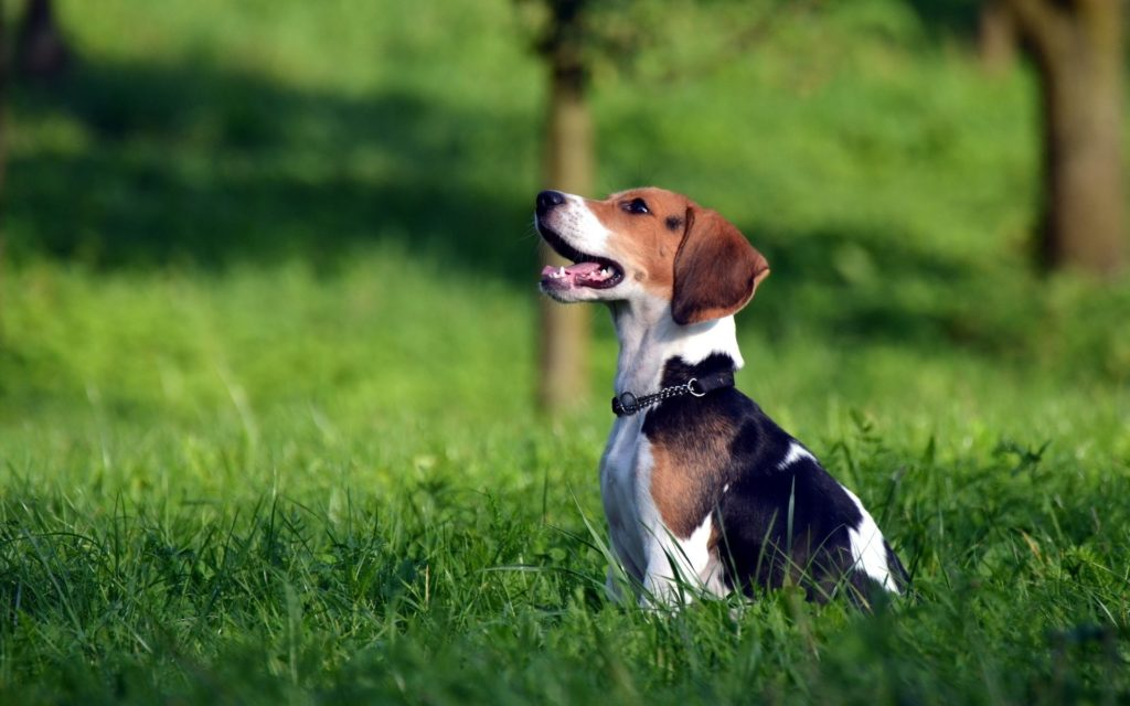 Beagle-Dog-Photography-Wallpaper-1024x640.jpg