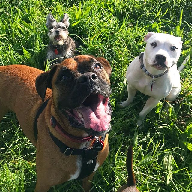 3 smiling pups 💕🐾 - - - #auckland #dogwalker #newzealand #dogsofnewzealand #doggiedaycare #daycare #nzdog #nzdogs #nzdogsoninstagram #aucklanddogs #dogsofnz  #dogsofauckland #doglover #instadog #dogoftheday #dog #dogs #dogstagram #westauckland #aucklandcity #dogwalking #4leggedfun #adventure #aucklanddogwalker #specialisedinsmallpackwalks #individualoneononewalks #bushwalks #beachwalks