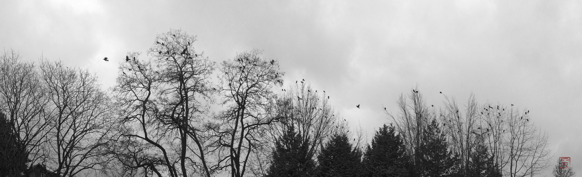 A crow gathering in a cold winter Vancouver afternoon.