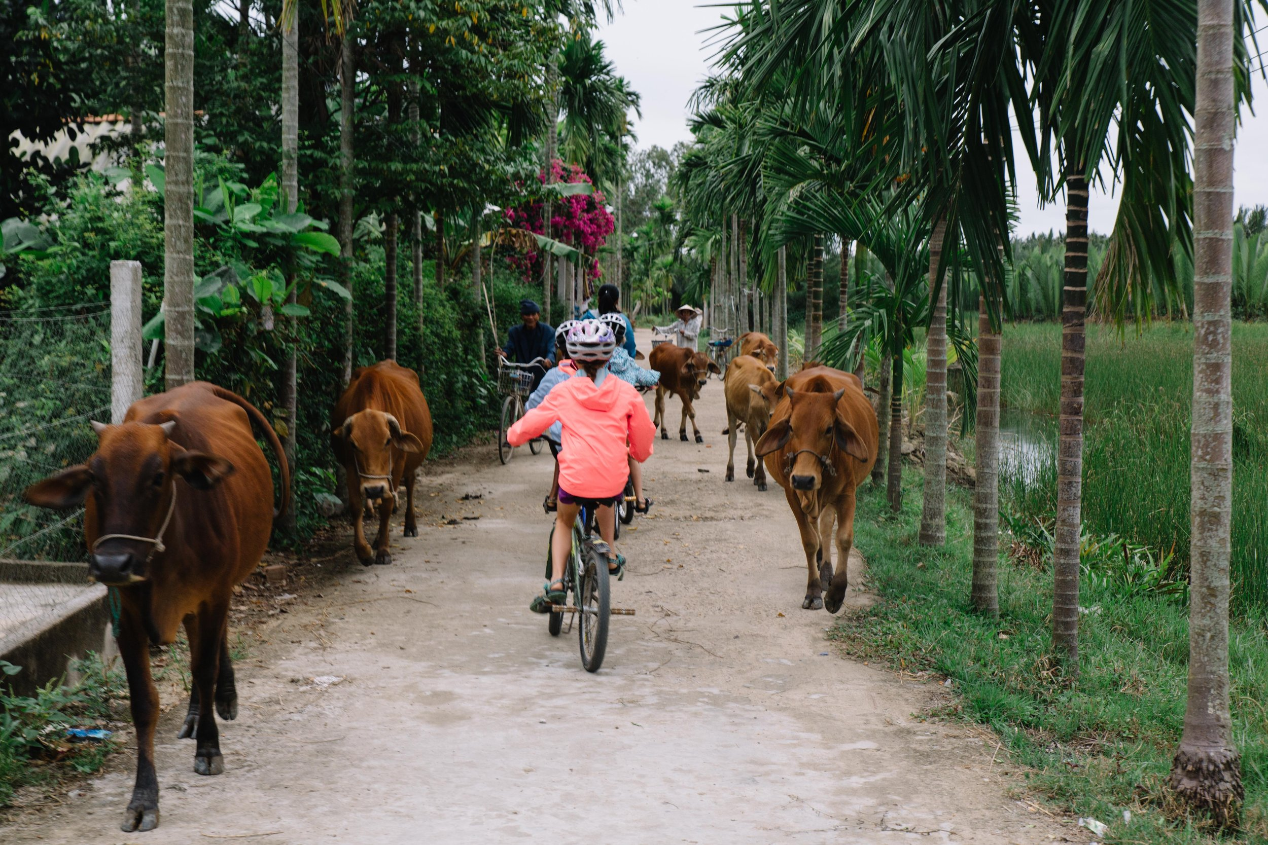 Vietnam Village Life. After a while, you just get used to avoiding whatever you may encounter on the road......including an entire herd of cattle.