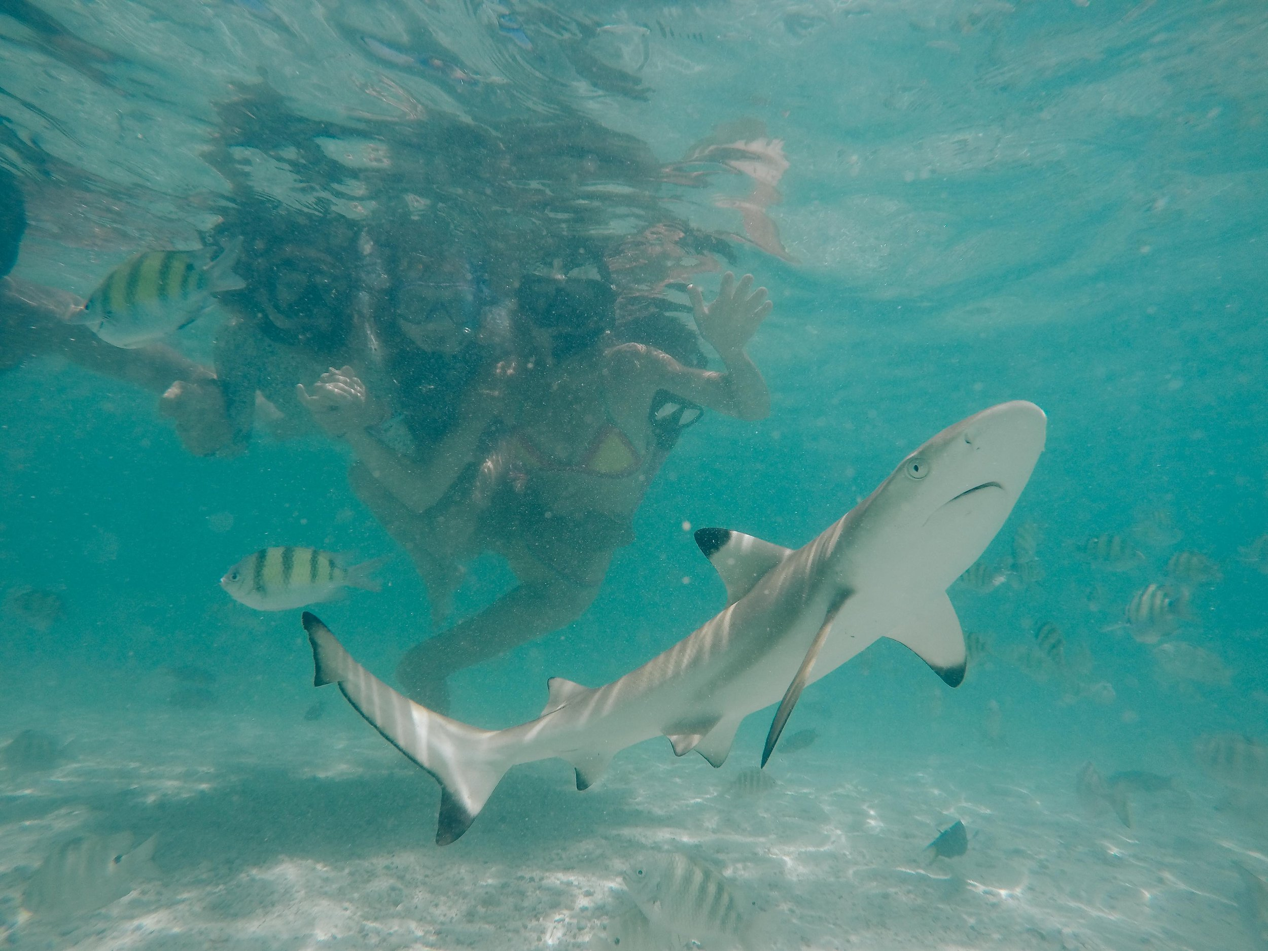 "Just a ""small and harmless"" black tip shark, according to our guide, swimming right under us during our Phi Phi Island, Thailand snorkel adventure. The white sand, turquoise water and bright sun, made Phi-Phi a perfect place to spend the day."