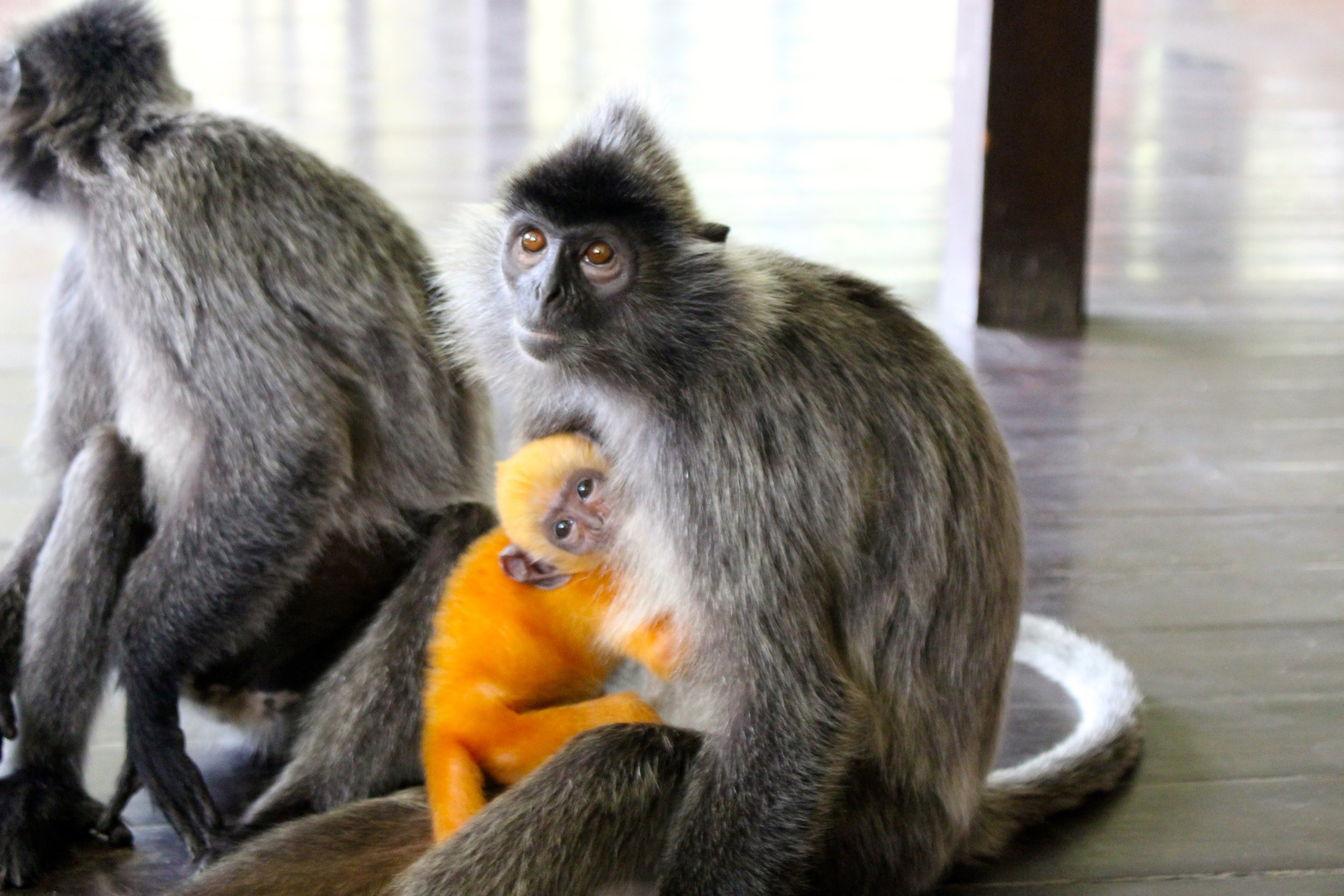 Our new favorite animal might have been found here in Borneo, Malaysia. This Silverleaf female monkey and her beautiful and bright baby were very mild-mannered, playful and even stopped for a photo op. The baby will eventually turn over to a grey/silver color in time, but for now looks pretty cute in this bright orange coat.