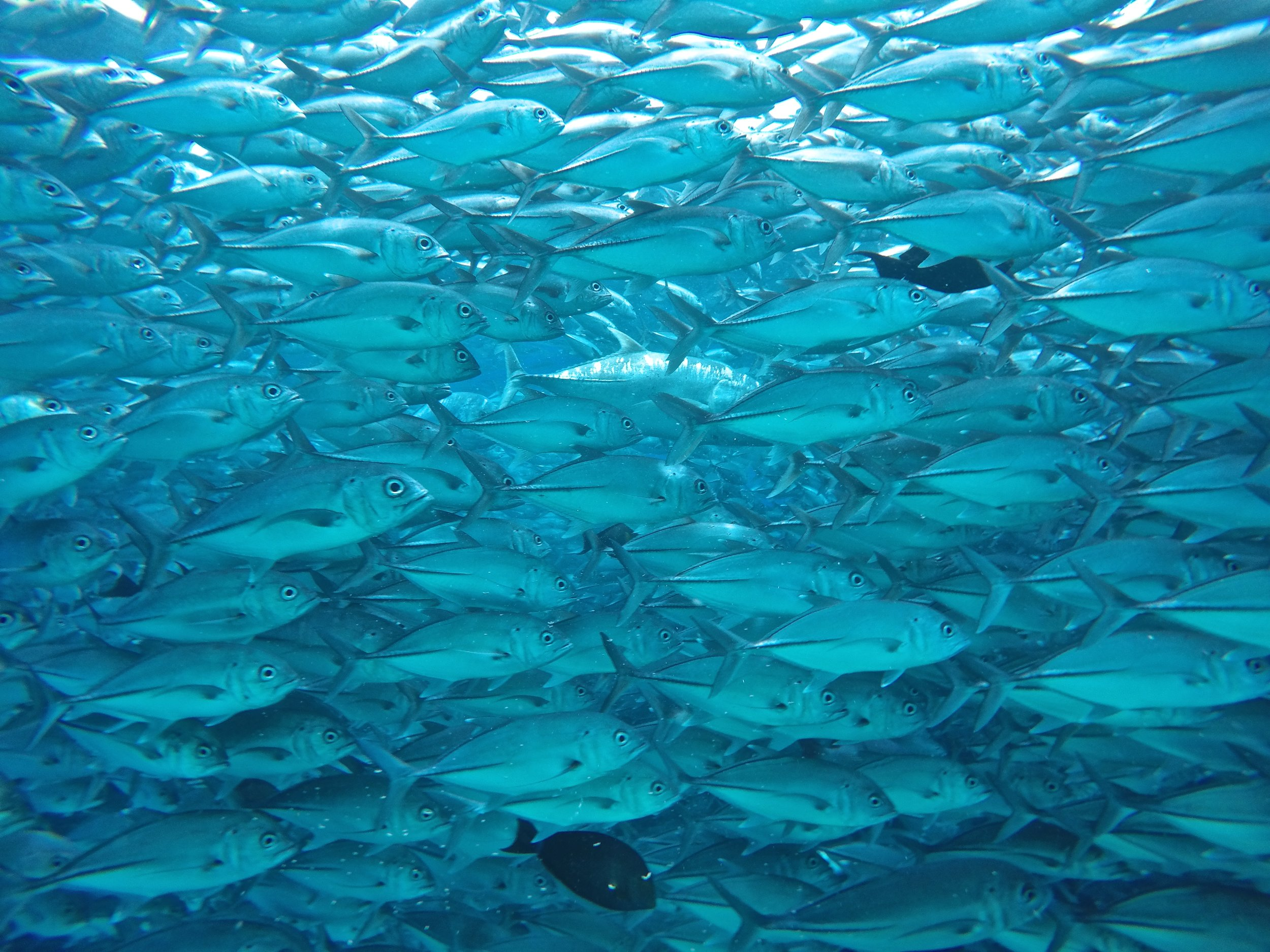 In the middle of a scuba dive on the beautiful Sipidan island, this school of jackfish came and decided to fully surround me. I lost sight of the dive master and my dive partner for just 10 seconds (long enough to pull out the GoPro and get a few photos)  which sent me into a mini panic attack. Thankfully the jackfish were just passing by in a very large number, and went along peacefully leaving me to continue on with an amazing dive full of marine life.