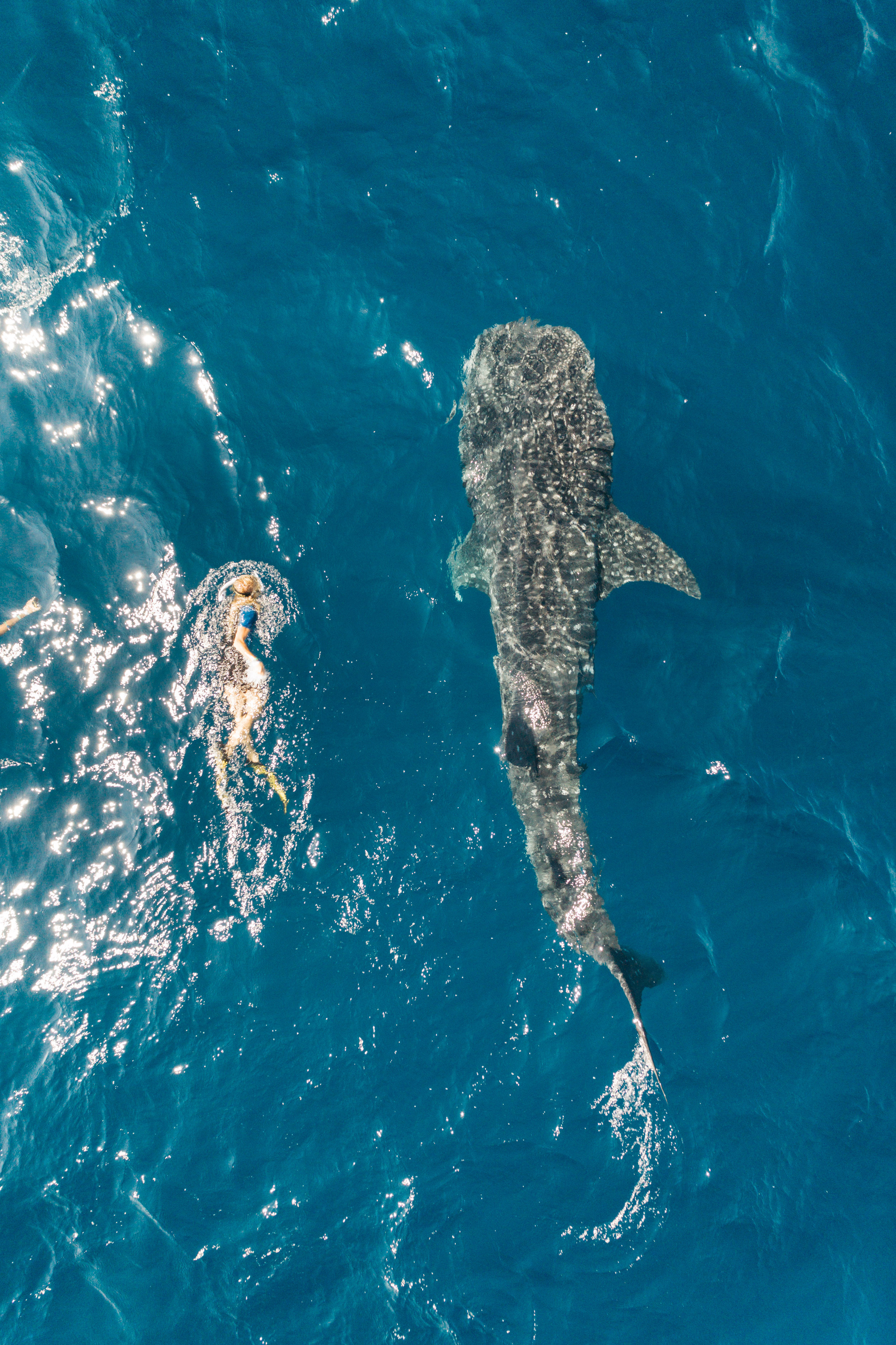 """We (Ellen, all 5'5"""" of her above)finally tracked down the giant of the sea, when we got the chance ego swim alongside whale-sharks in Isla de Mujeres, Mexico. These """"fish"""" which are between 26-30 feet long and average 20,000 lbs,can live up to 70 years old. We were fortunate to have an amazing guide who knew which direction they would be heading during this time of the year!"""