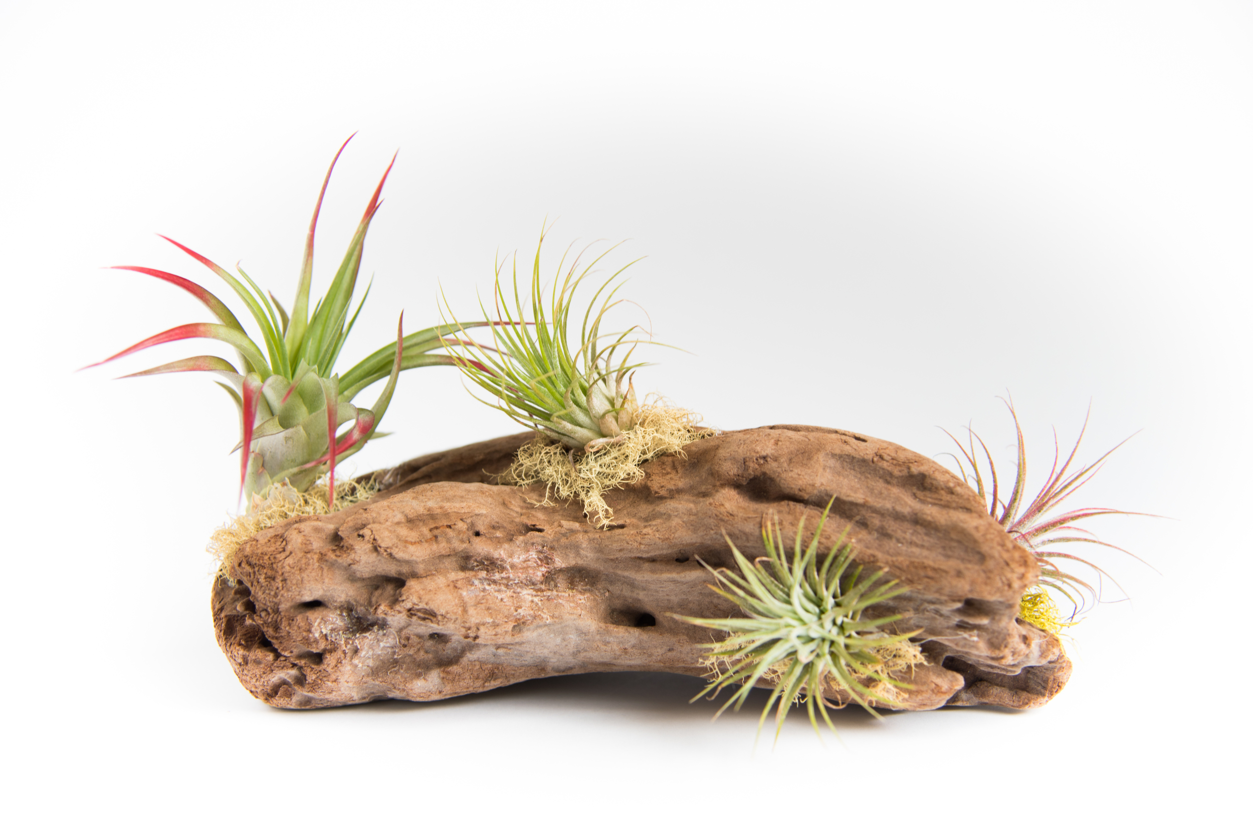 Driftwood Airplant Display