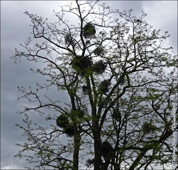 Омела. Ботанический сад Дюссельдорфа