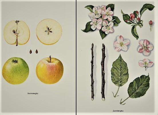 Иллюстрация из немецких книг: как-то раз я зашла на выставку в музей Цонса - а там огромная коллекция яблочных сортов, проиллюстрированных с немецкой ботанической тщательностью.
