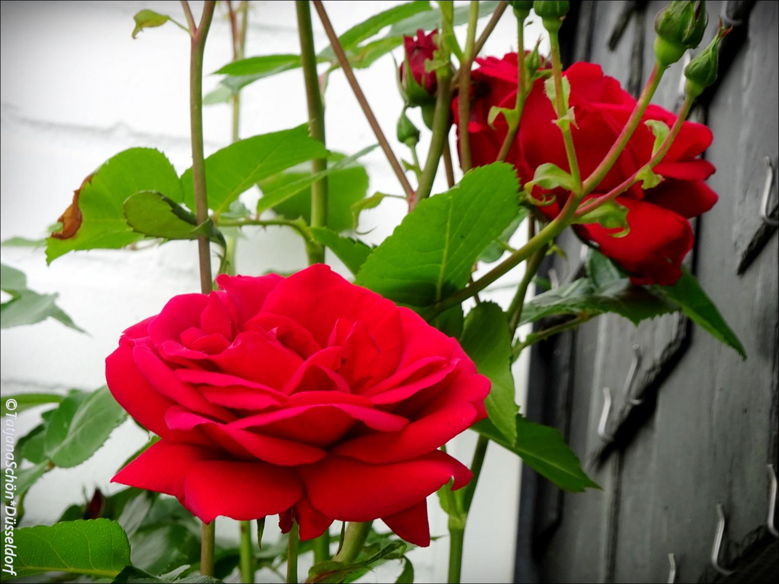 И розовый куст под крышей расцвёл!