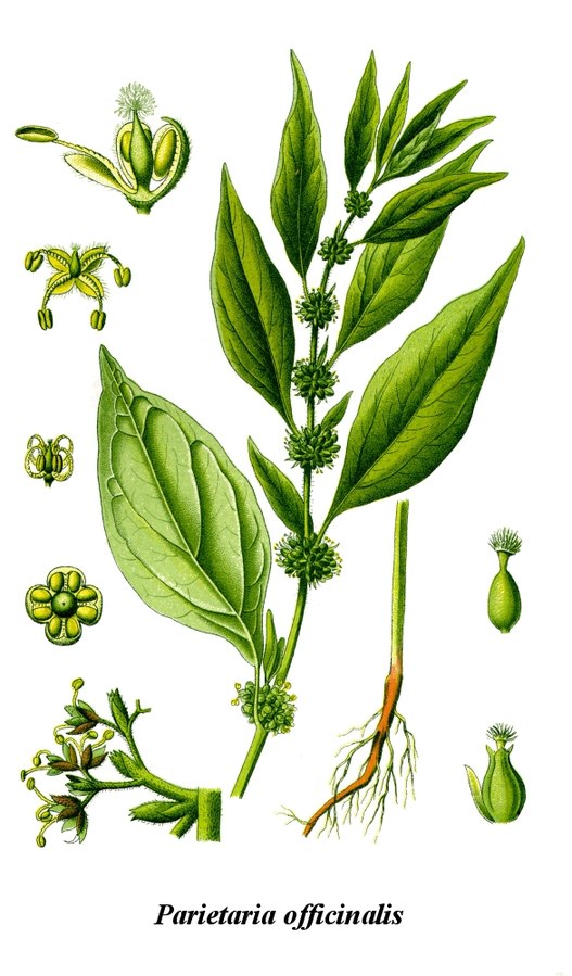 527px-Cleaned-Illustration_Parietaria_officinalis.jpg