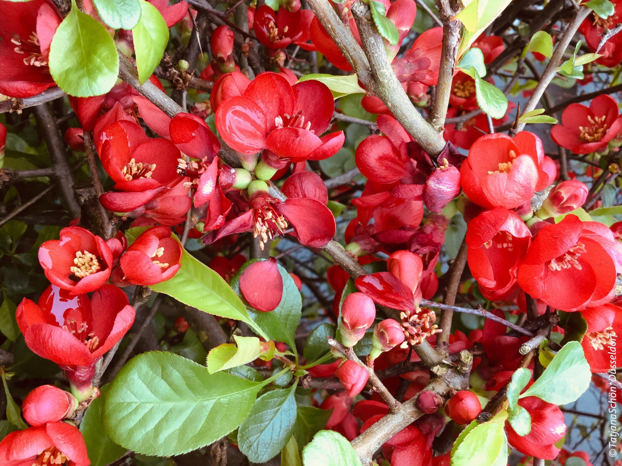 Вот это красное цветение (японская айва) всегда бросается в глаза