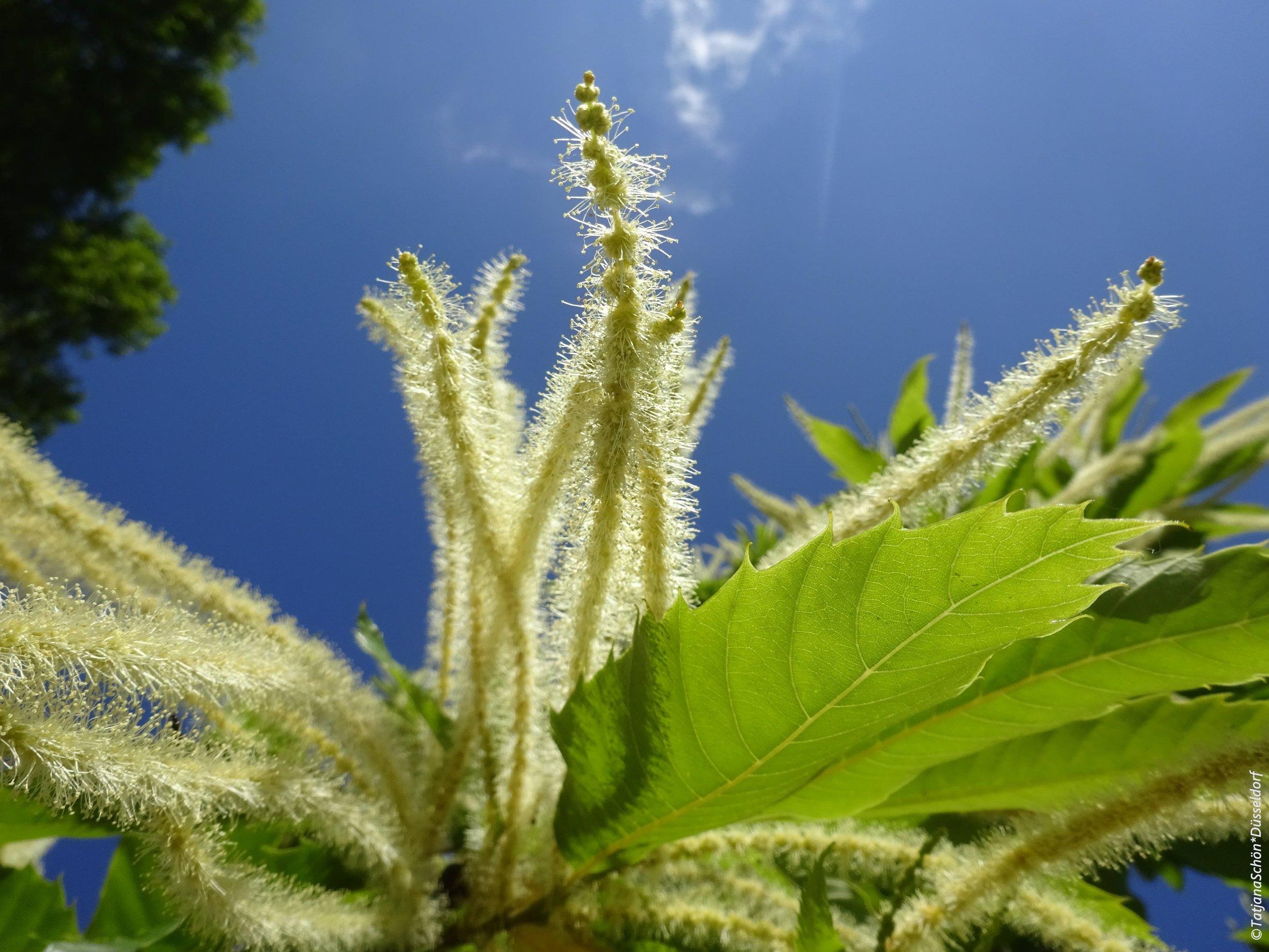 Листья - как у американского каштана, оказалось, что и у японского они такой же формы.