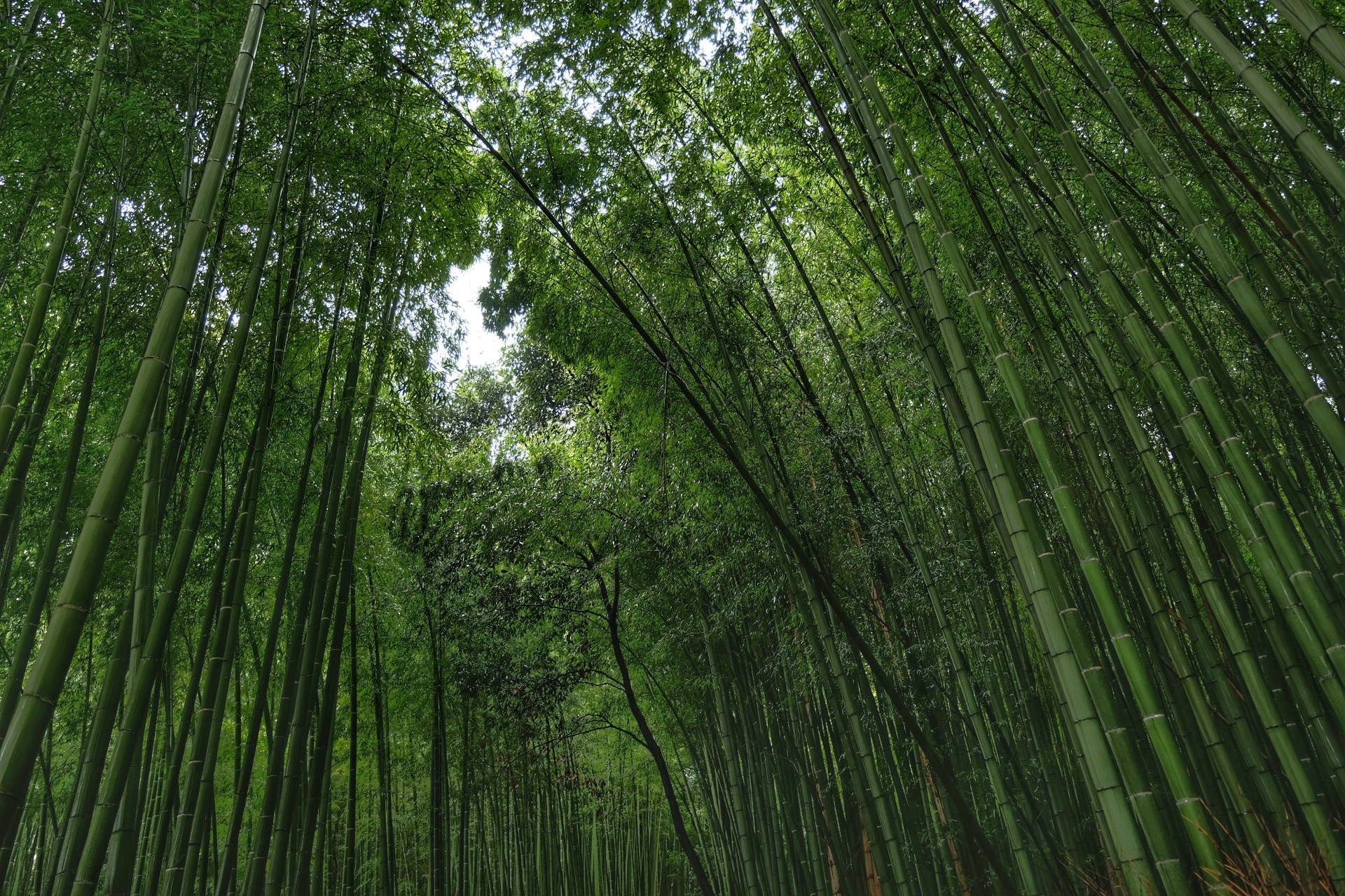 Bamboo Forrest.