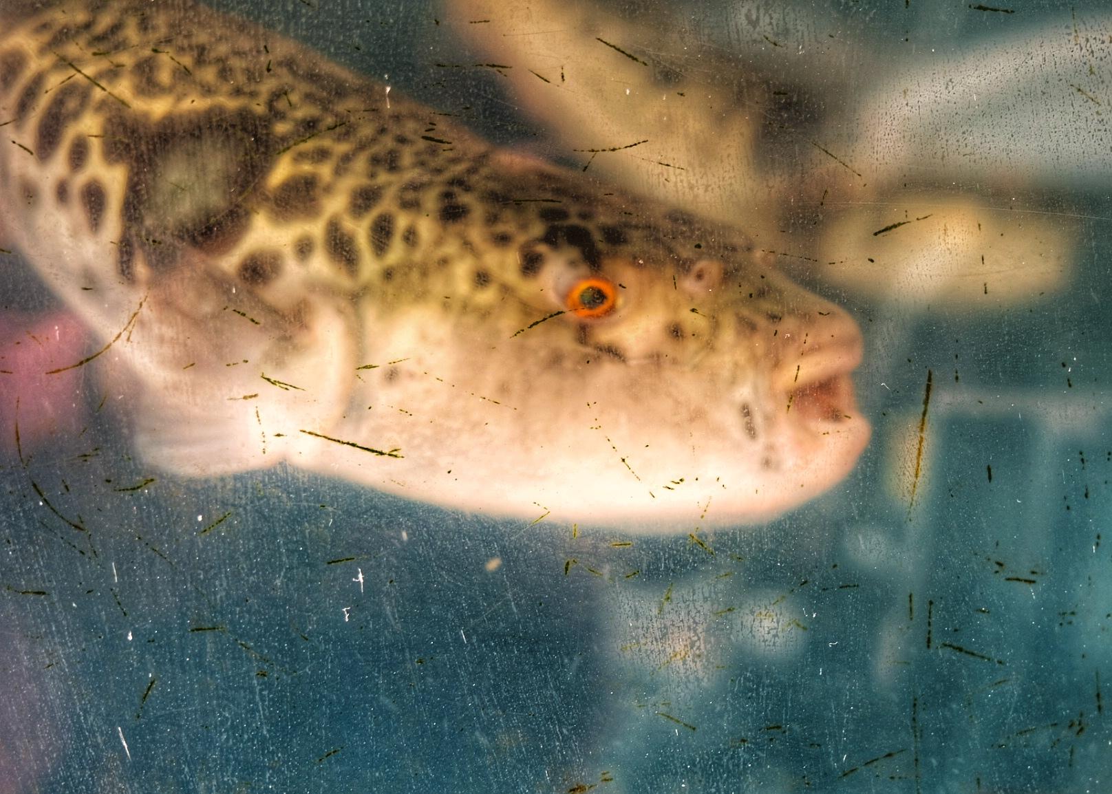 The Fugu Fish.