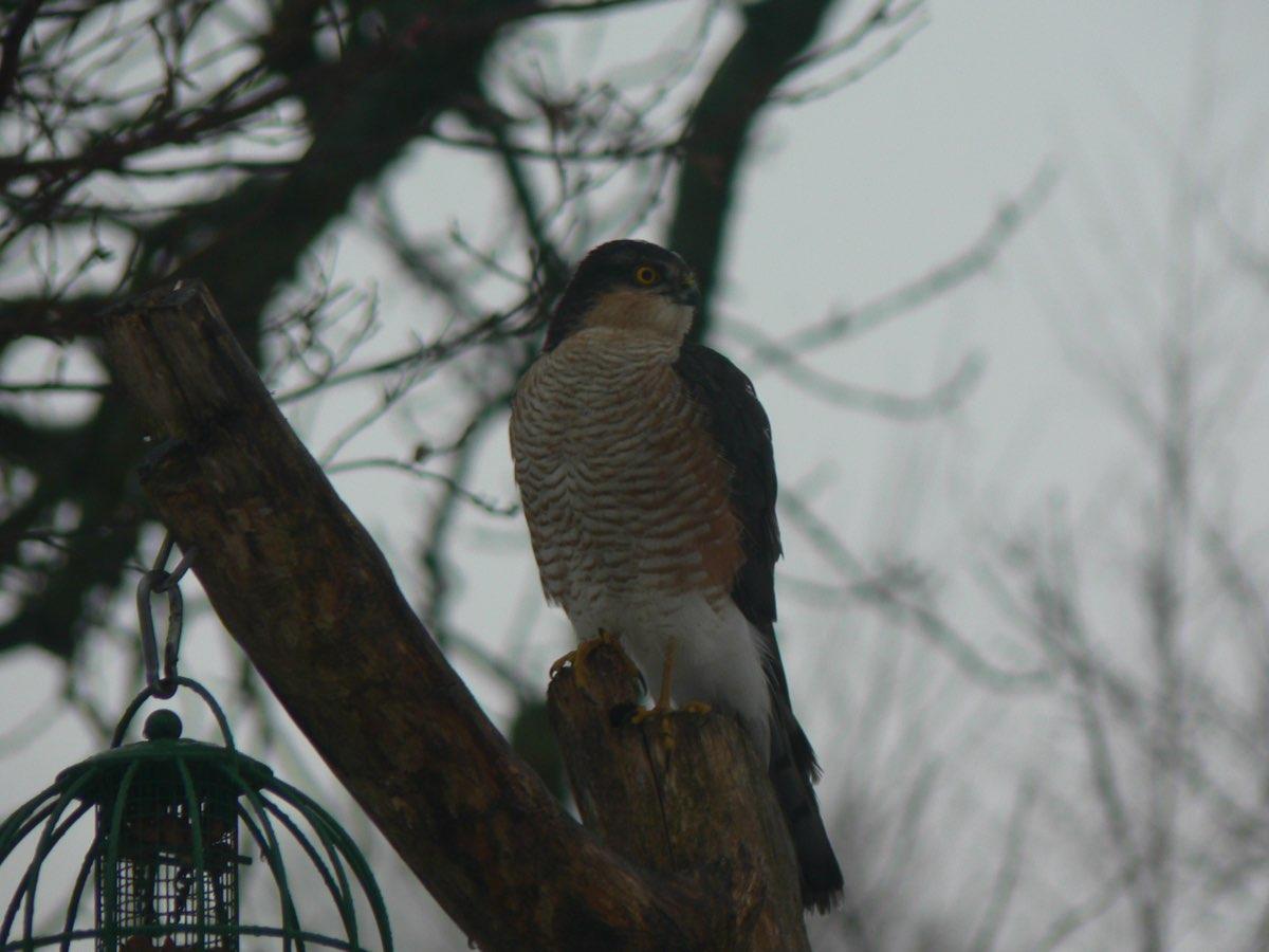 birds sparrowhawk2 0110.jpg