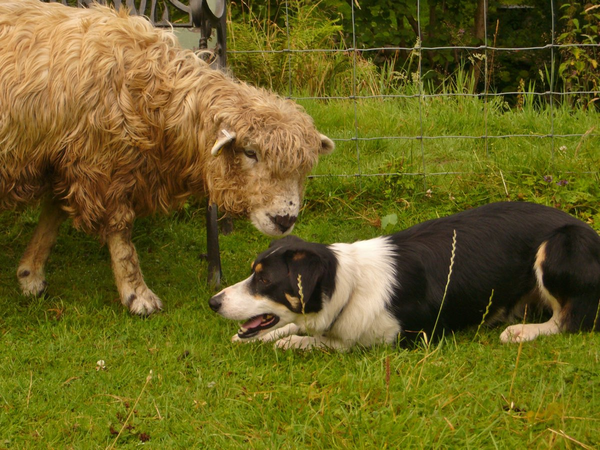 sheep and dog 0412.jpg