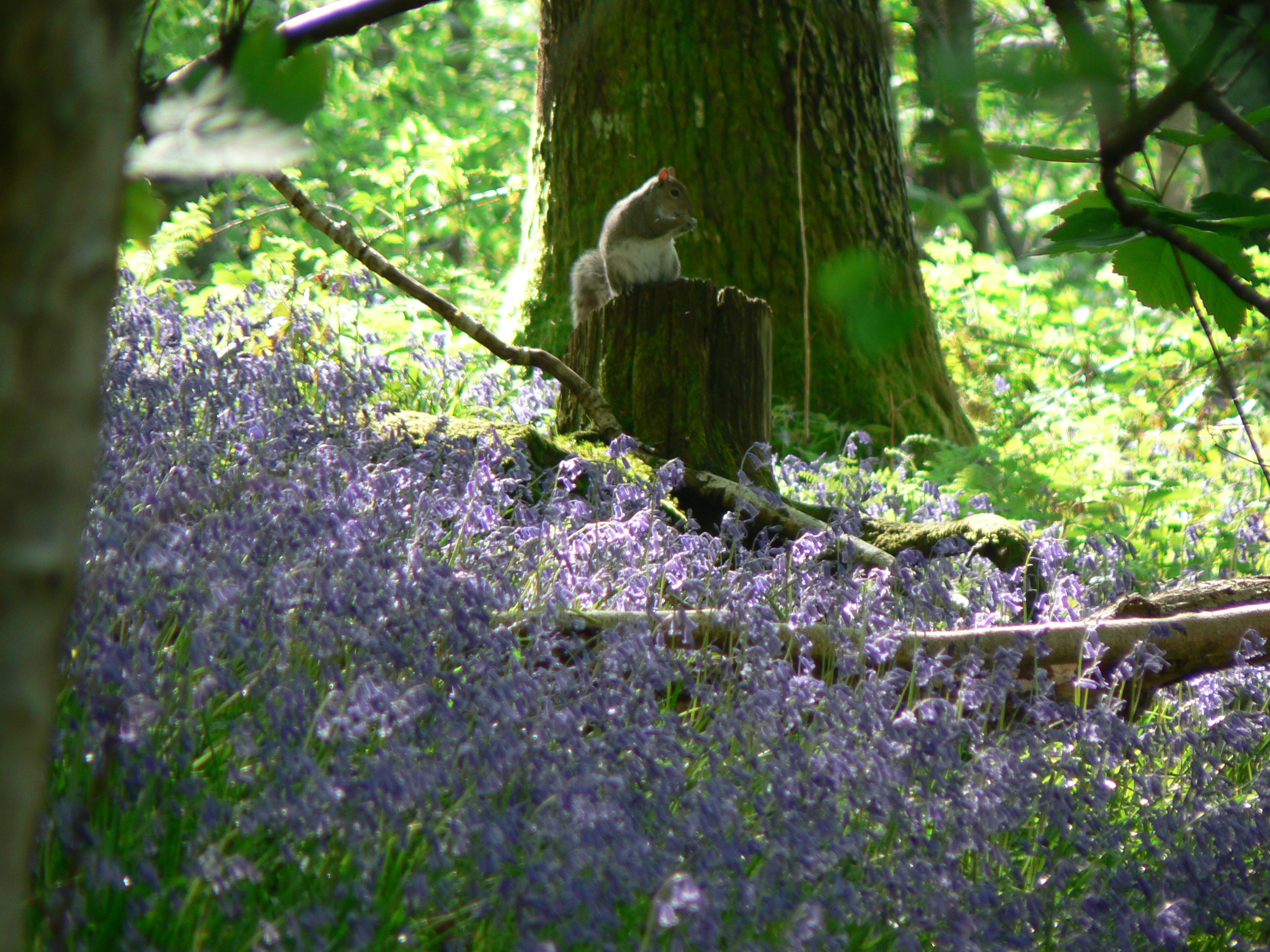 bluebells and squirrel.jpg