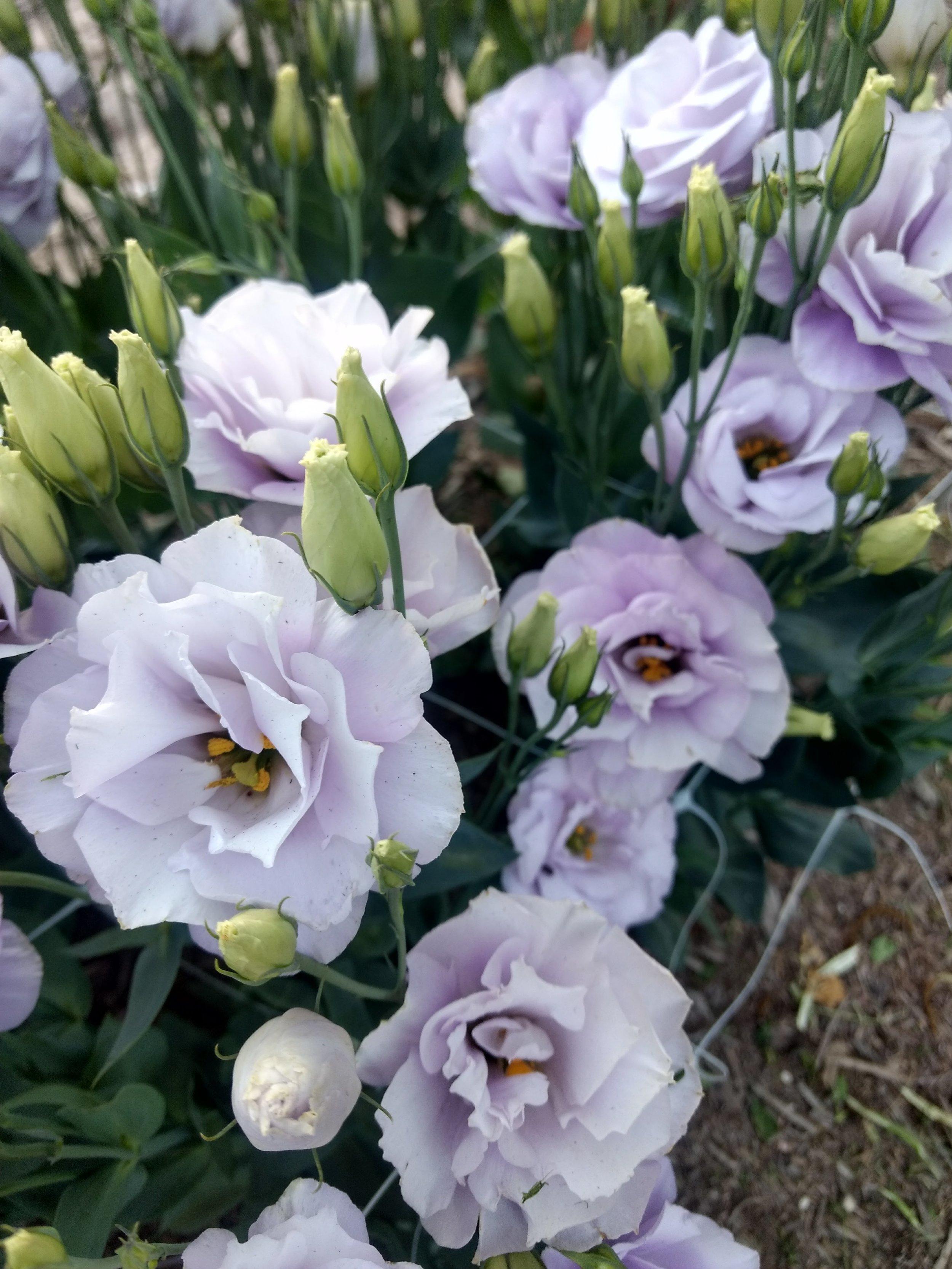 Lisianthus: Echo Lavender