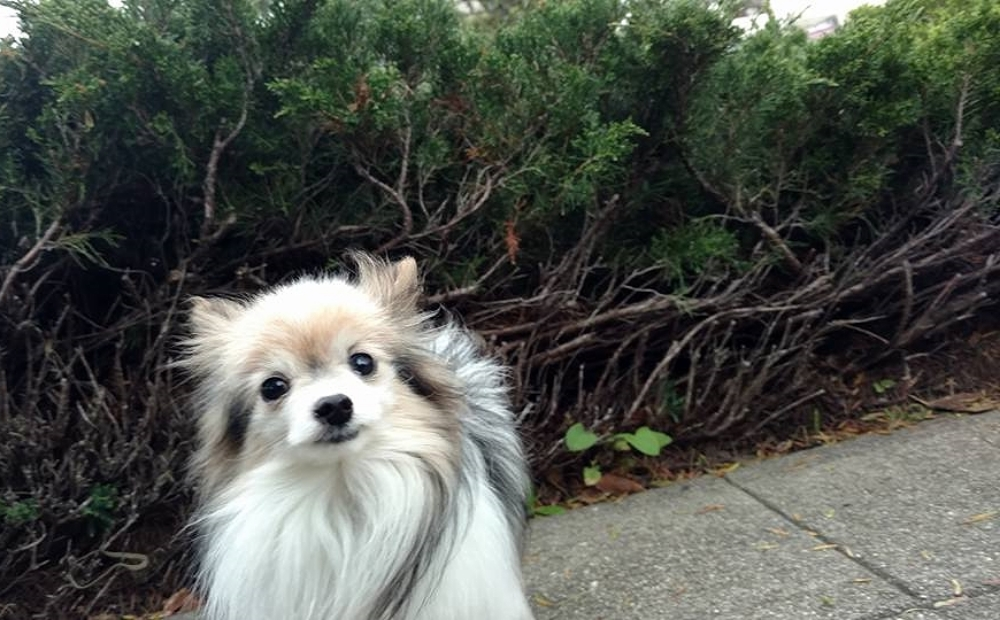 Pomeranian dog walker in Oakland and Berkeley.