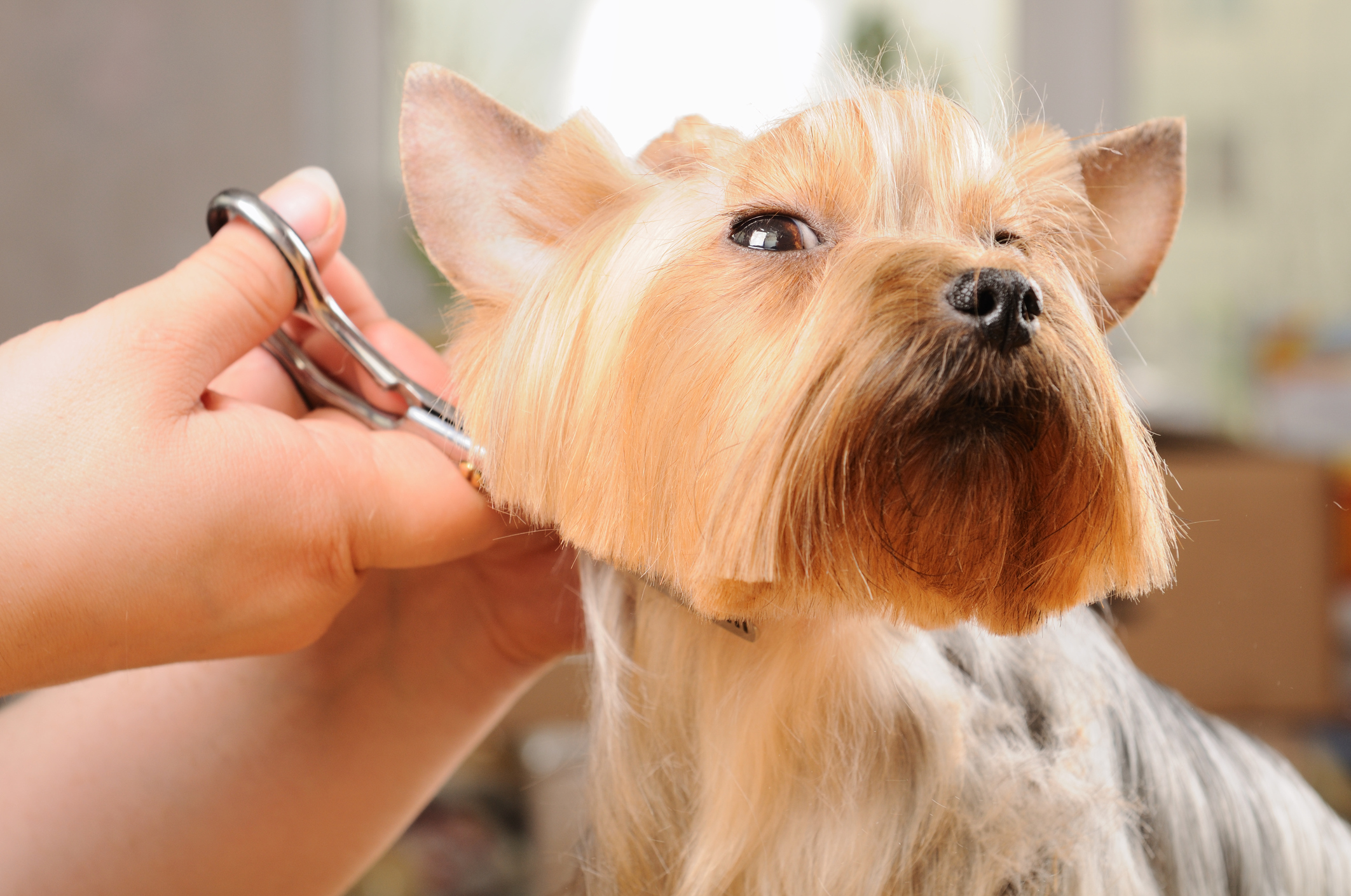 We Have Lots of Expertise in Small Dog Grooming