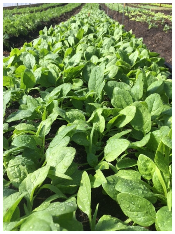 spinach bed 9:27.JPG