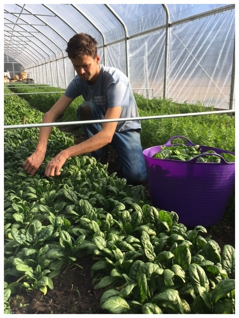 Spencer picking spinach.