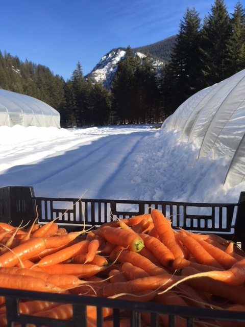 Napoli carrots, freshly dug.