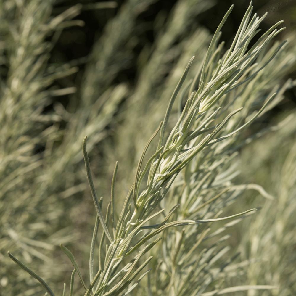artemesia californica