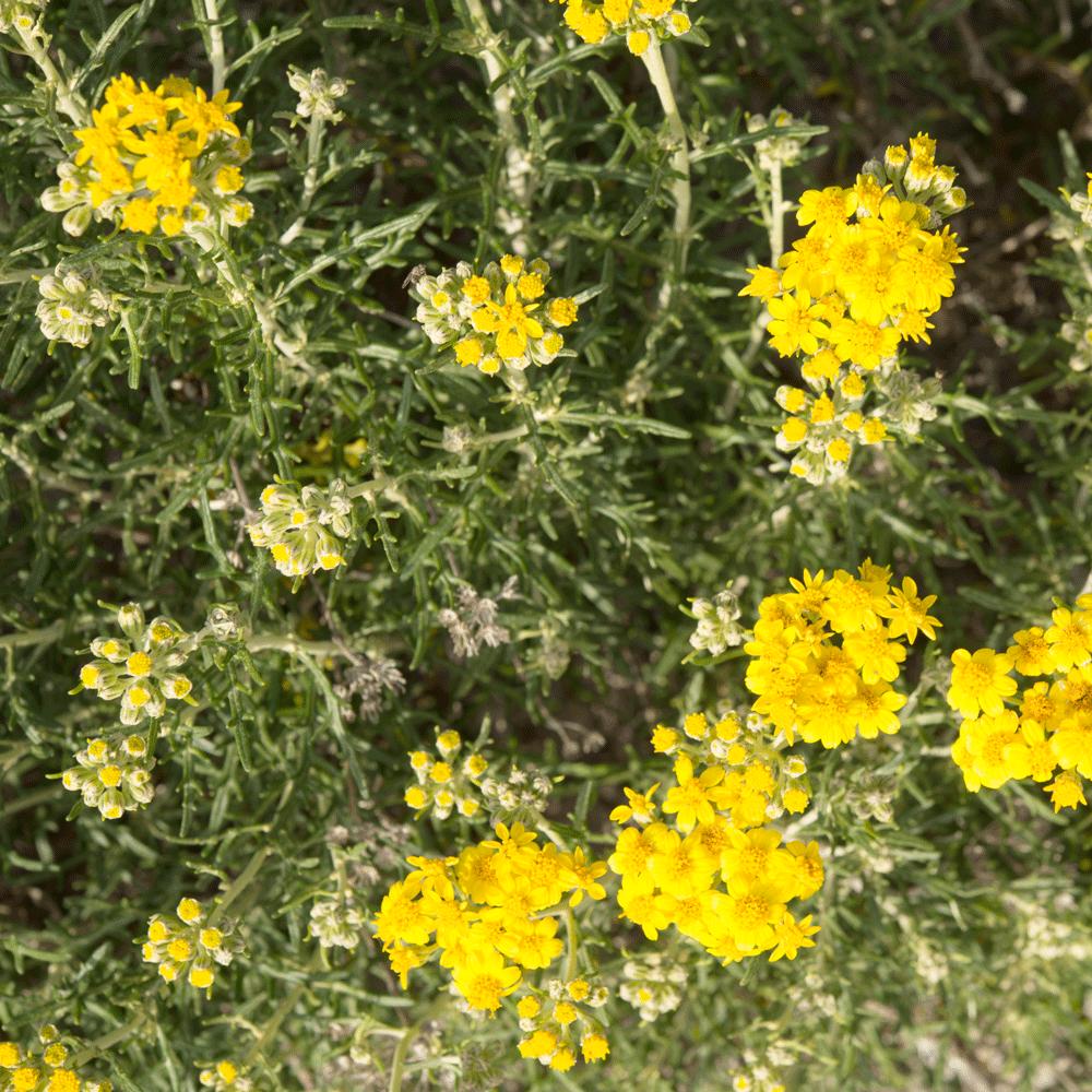 eriophyllum confertiflorum
