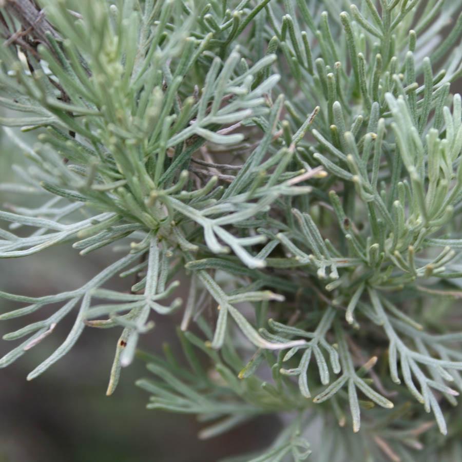 artemesia california