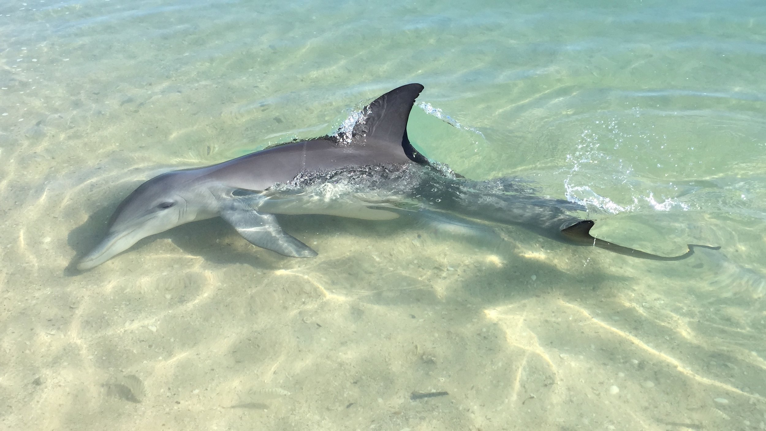 Dolphins right on the beach