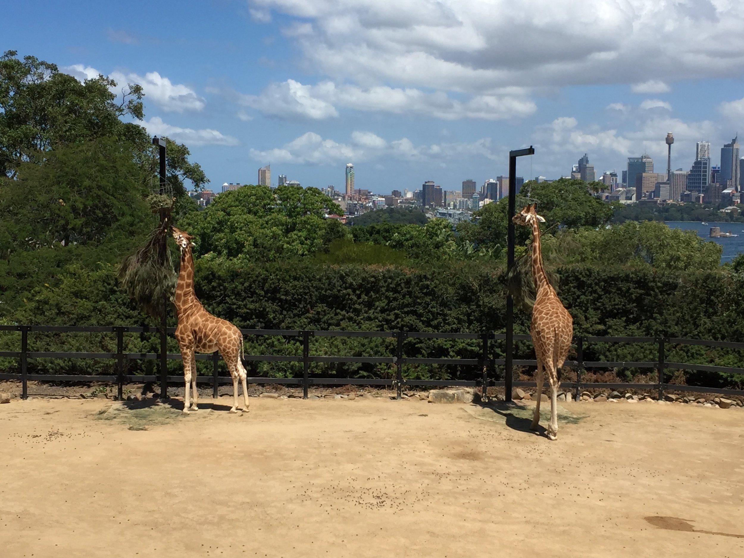 Giraffen Taronga Zoo.jpg