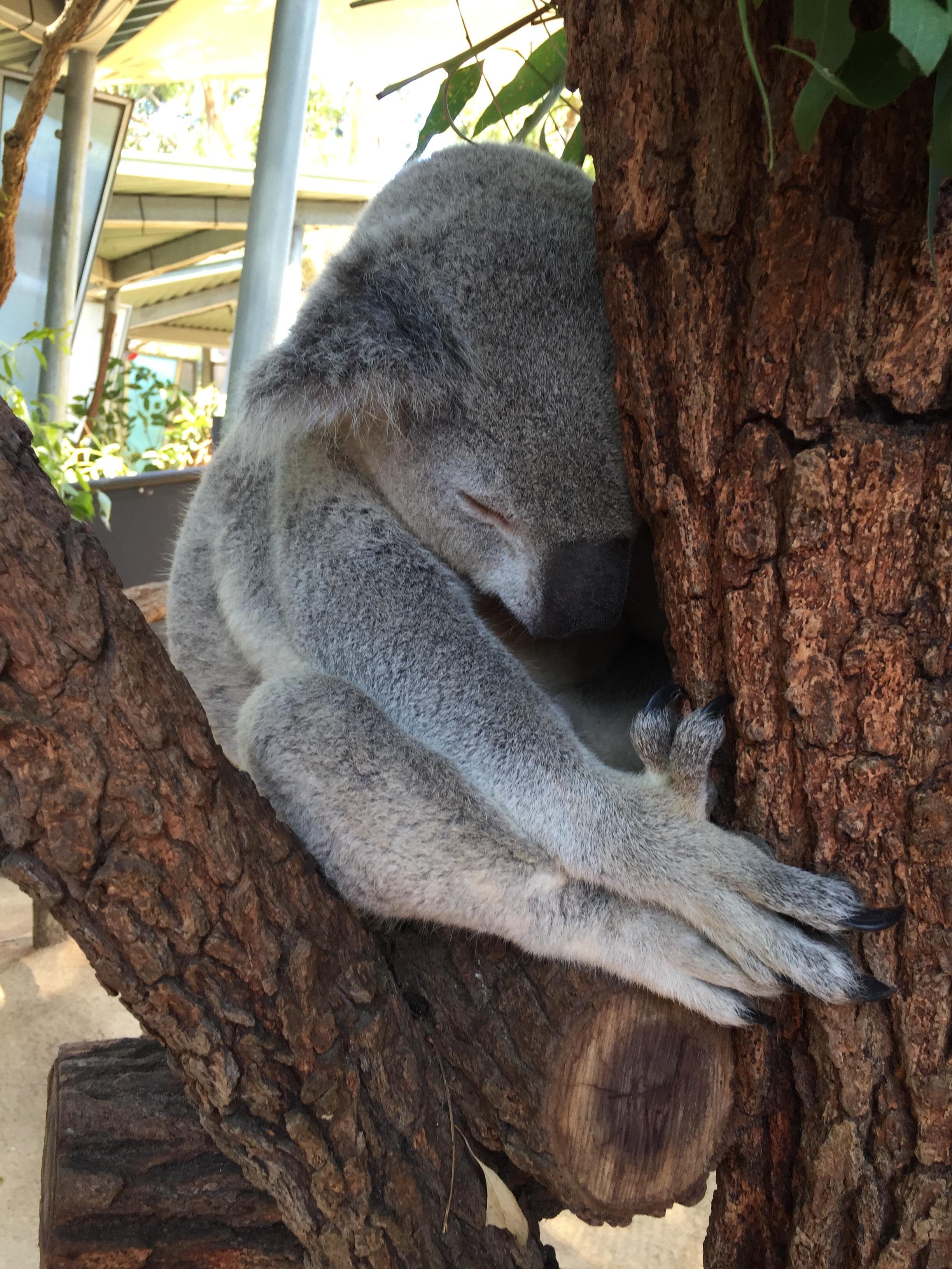 Koala im Taronga Zoo 2.jpg