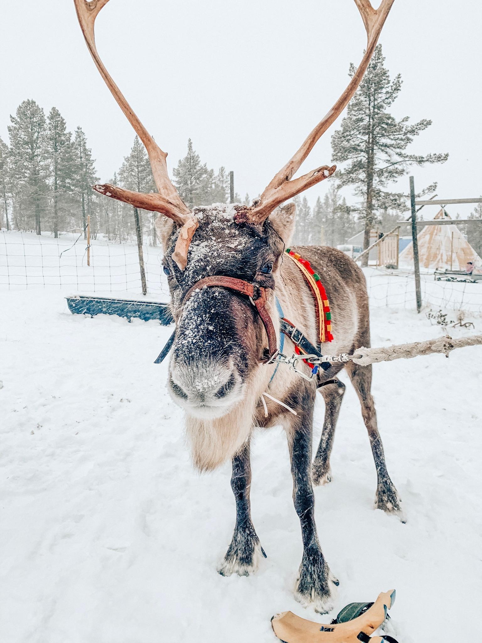 reindeer-kiruna-lapland.jpg