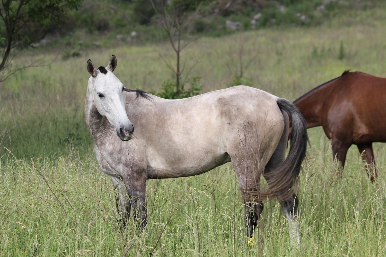 Grey horse, Los Potreros