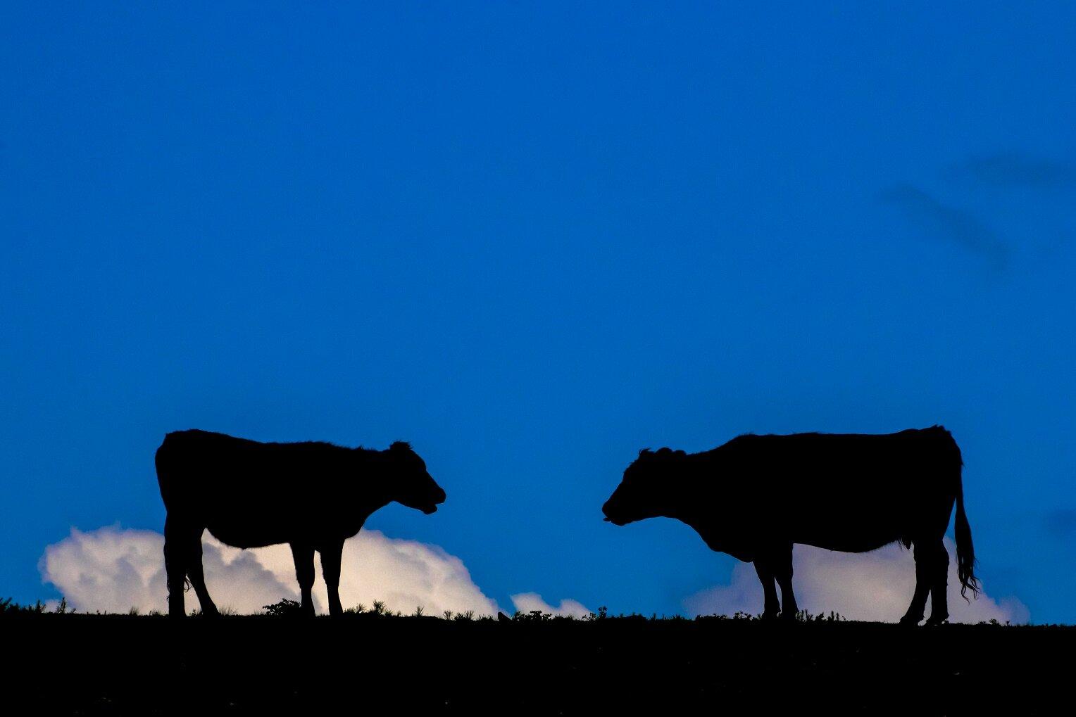 Cows (1 of 1).jpg