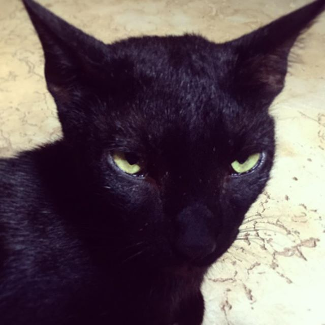 Black cats have long been associated with satan and witchcraft but in some cultures black cats are thought to bring good luck to your door. When my cat panther makes these evil eyes I also know he's purring madly in pleasure. Bad luck or a good omen, what do you believe? - - - - - - - - - - -  #cats_of_instagram #catsofworld #pets #petsofinstagram #africancats #caturday #catloversclub #catseyes #blackcat #chatnoir #catsoflamu #lamutamu #whyilovelamu #felinefriends #africancats #panther #catstare #catsareawesome #felines #purrfect #catduateschool #superstition #evileyes #badluck #goodluck