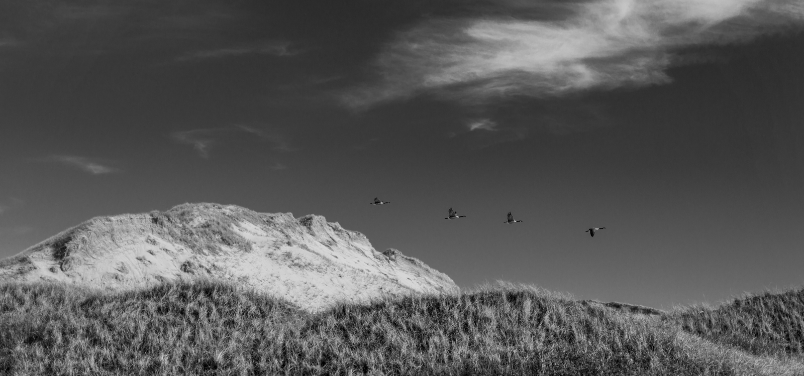 Geese over a sand dune