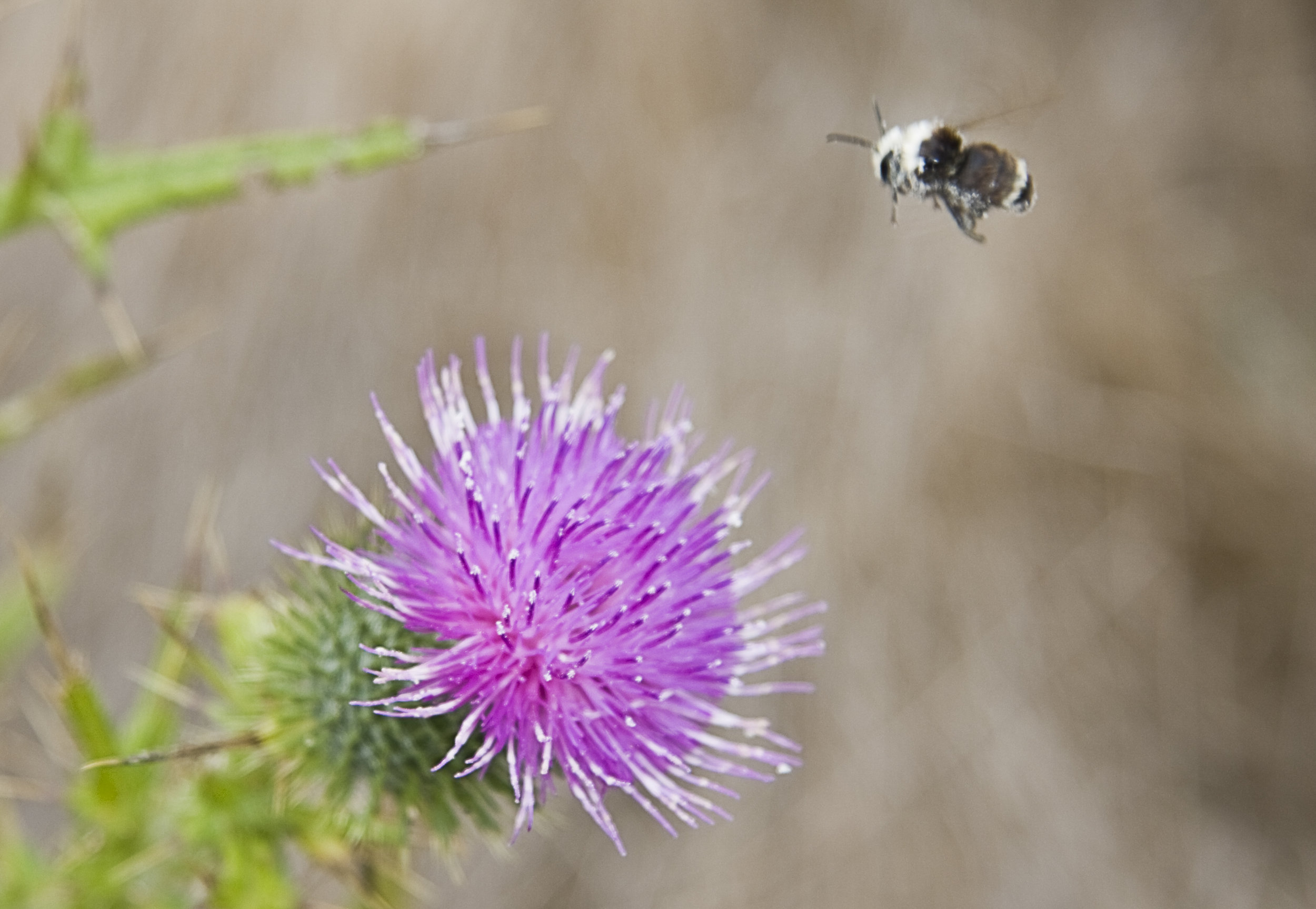 Thistle and Bumblebee