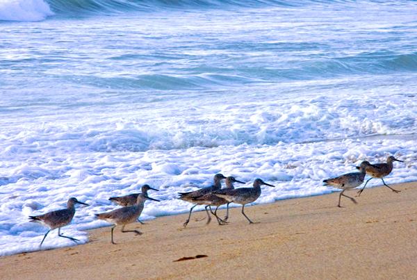 shorebirds01_s.jpg