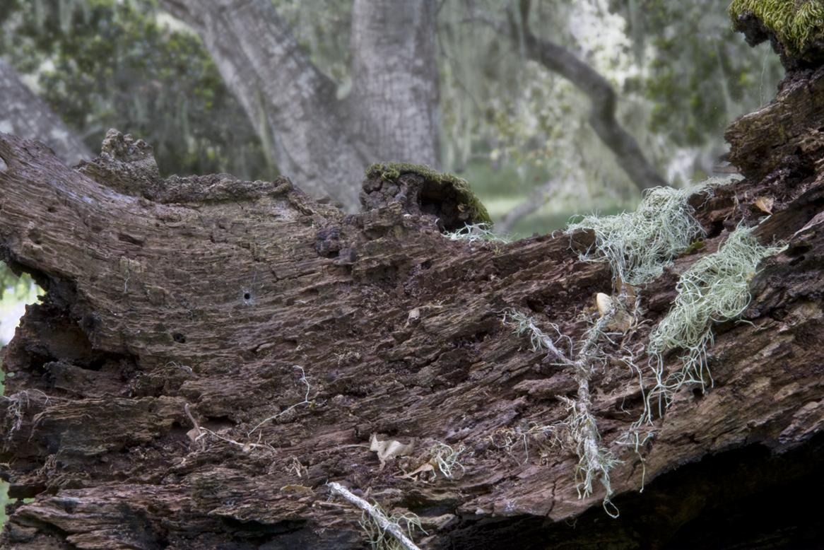 Oak and Lichen I