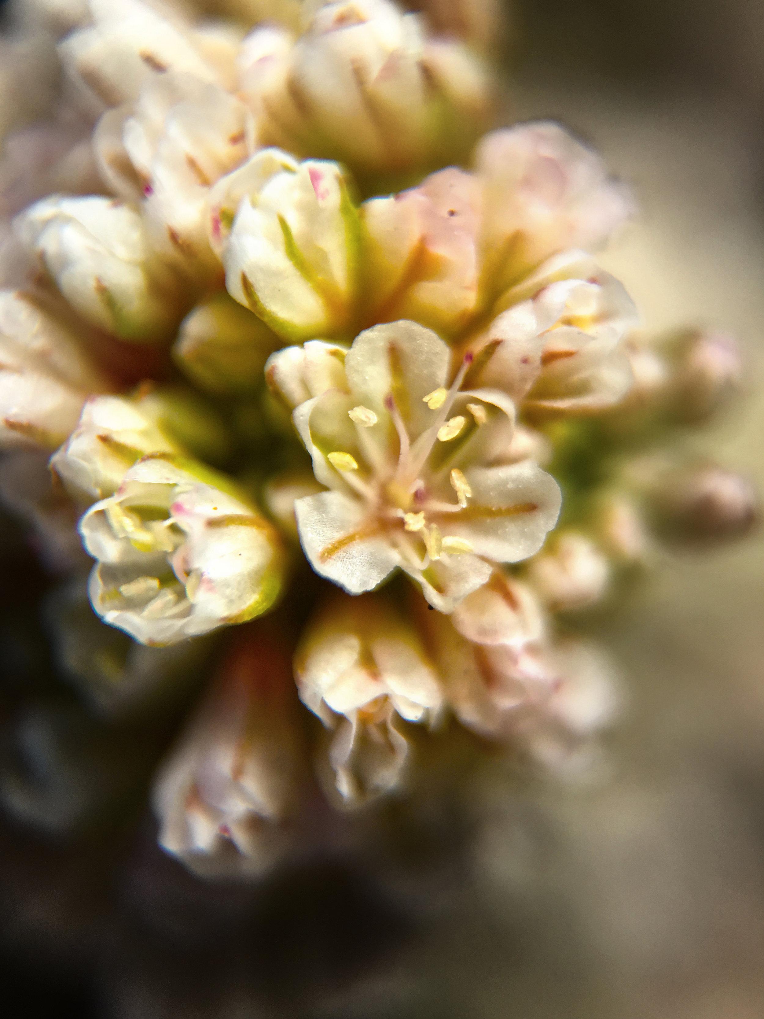 Dune Wildflower I