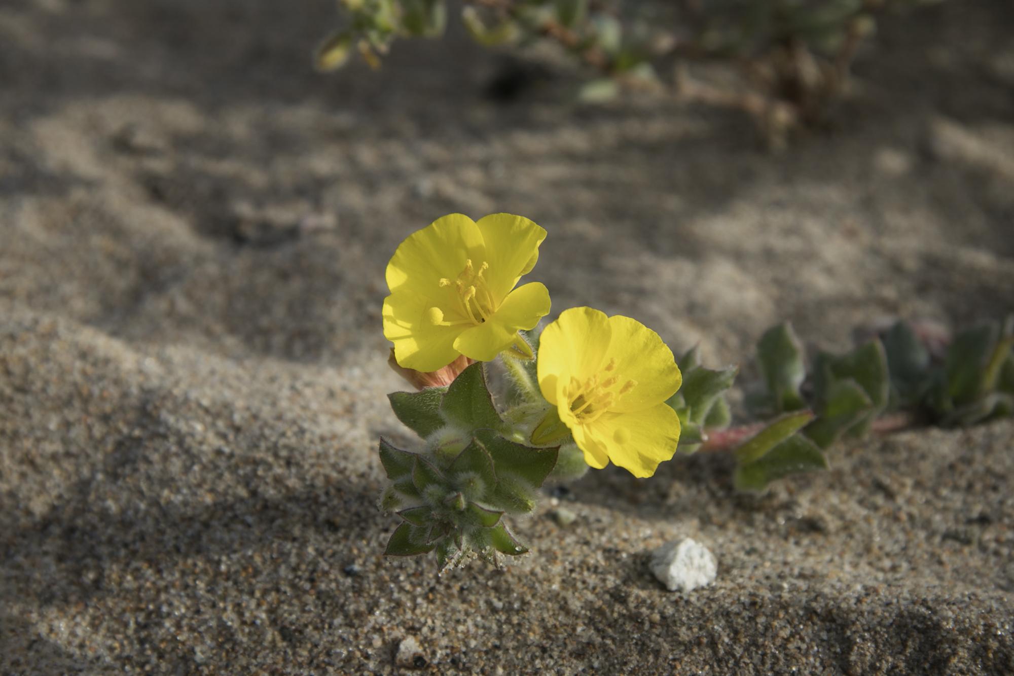 Dune Wildflower III