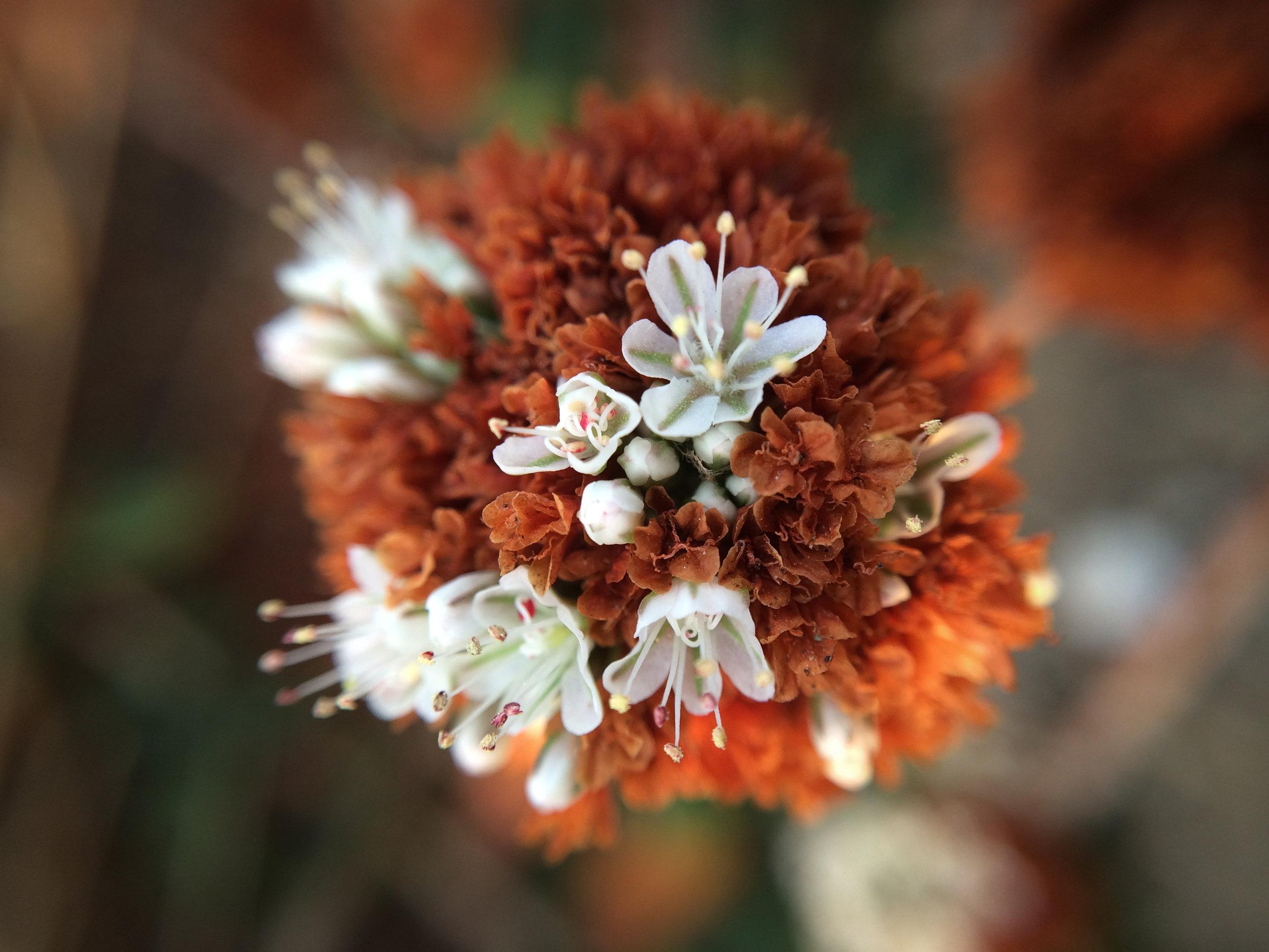 Stilwell Hall Dune Flower IV