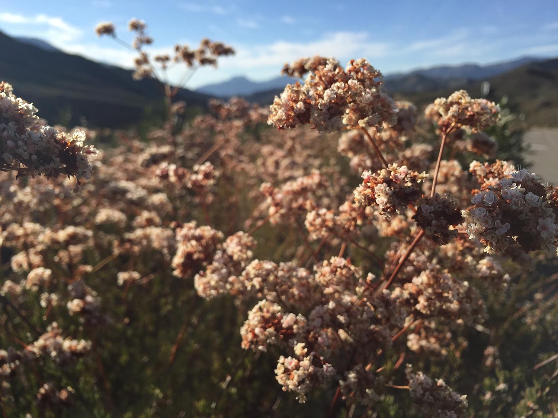 Eriogonum fasciculatum, California buckwheat.