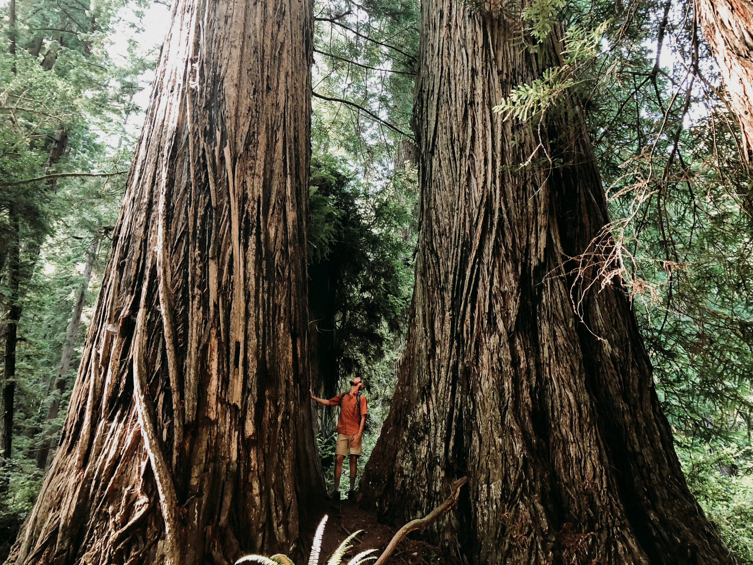 Redwoods_EvergreenEraFilms