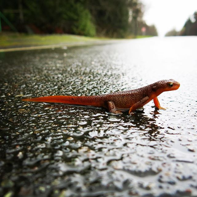 "Rough Skinned Newt, Taricha granulosa, crossing the road.  An arms race with the Gartner Snake has resulted in this PNW herp as poisonous as the famed poison dart frogs from South America (same neurotoxin ""tetrodotoxin"""