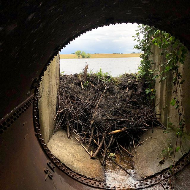 These humans left one hole in an otherwise perfectly good dam... ———————————————- #beaverdam #biologistlife #beaver #beaverdeciever #pnwlife #pnwwildlife #pluggedculverts #beaverbeliever #upperleft #upperleftcoast
