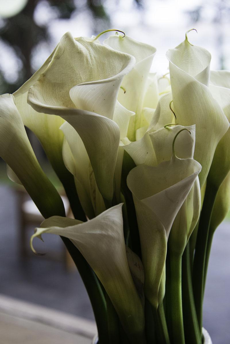 Close Up of Cala Lilies