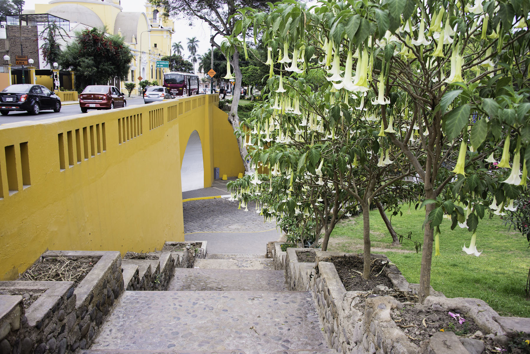 Angel Trumpet Trees Lining a Staircase in Barranco Lima